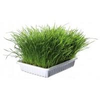 трава в стаканчиках зеленая